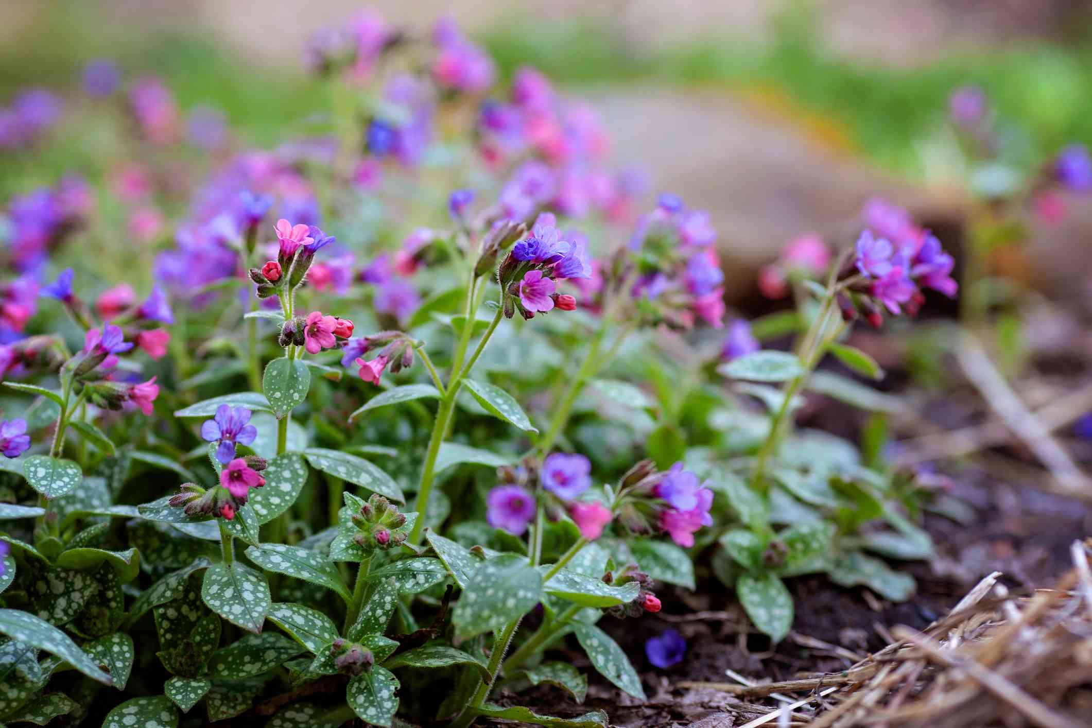 Pulmonaria; Lungwort Plants