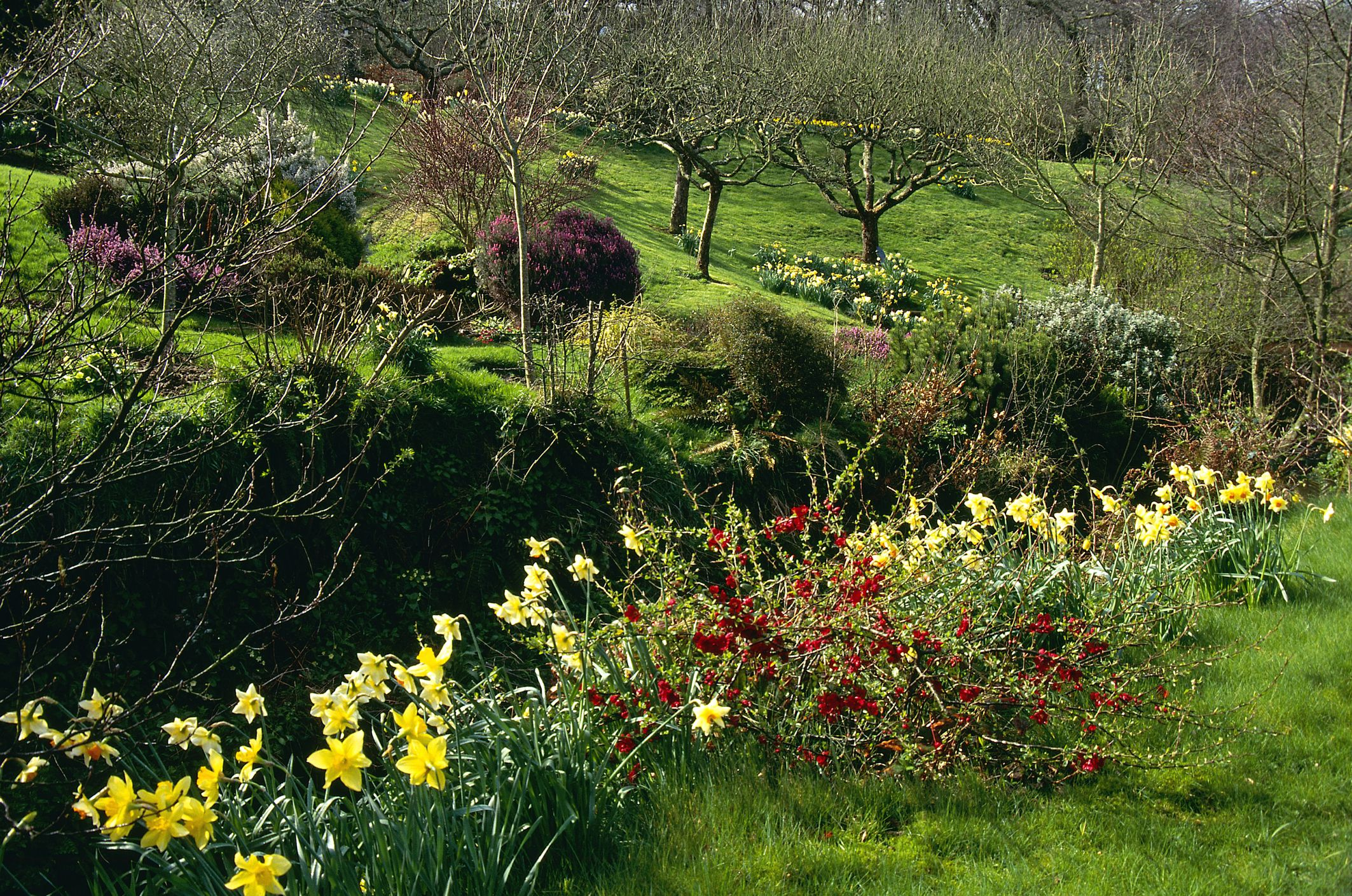 spring garden early spring grassy bank, chaenomeles speciosa, narcissus, view to erica bed & orchard trees, march, docton mill, devon