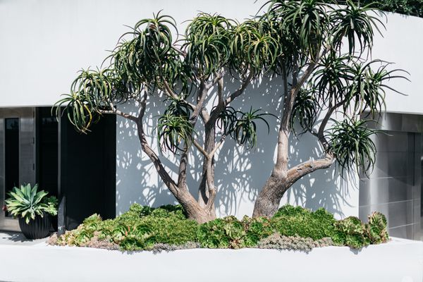 tree and succulents in landscaping