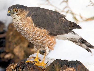 Protect Backyard Birds From Hawks