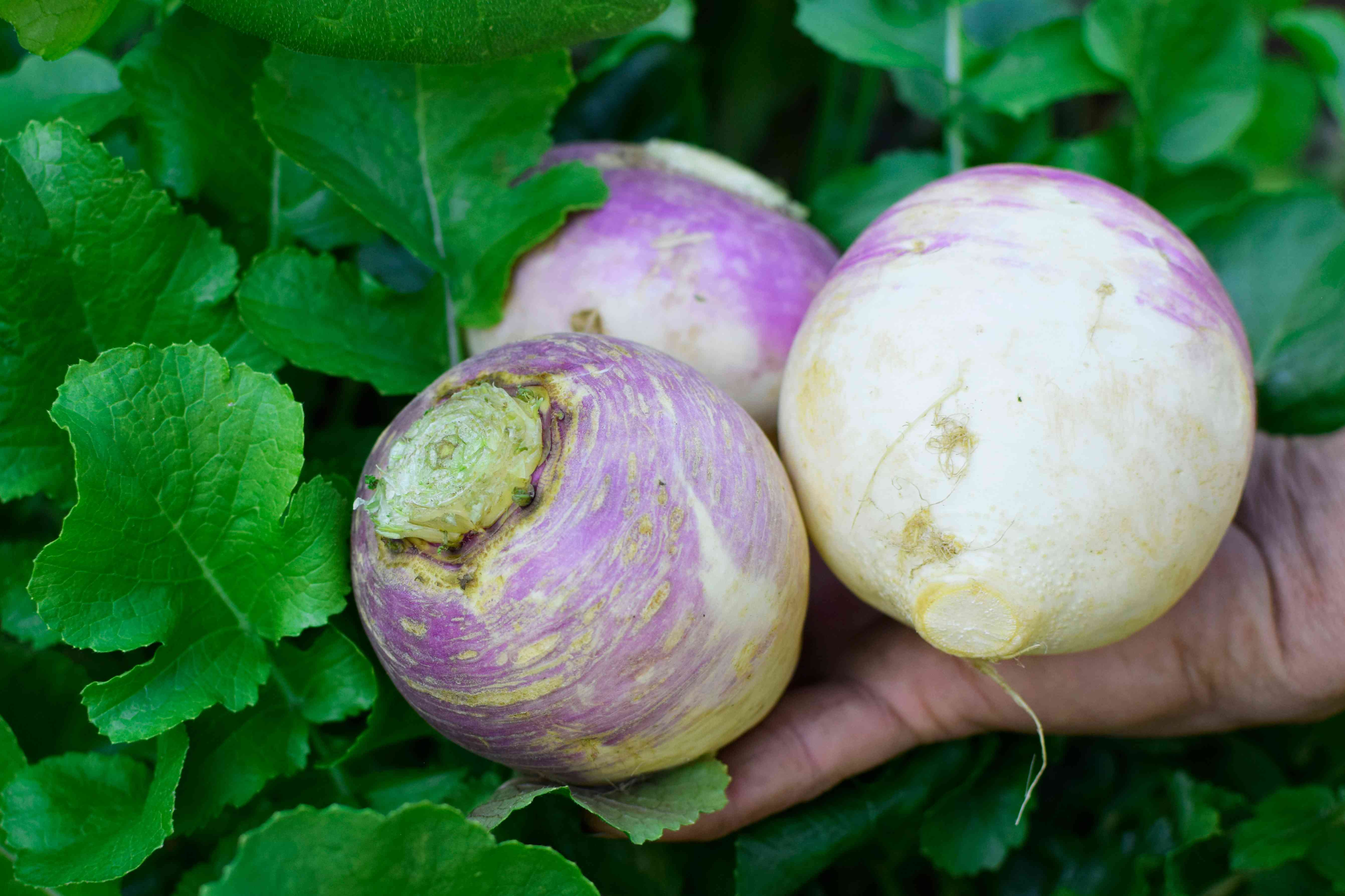 Grown turnips with white and purple markings and leaves held by hand