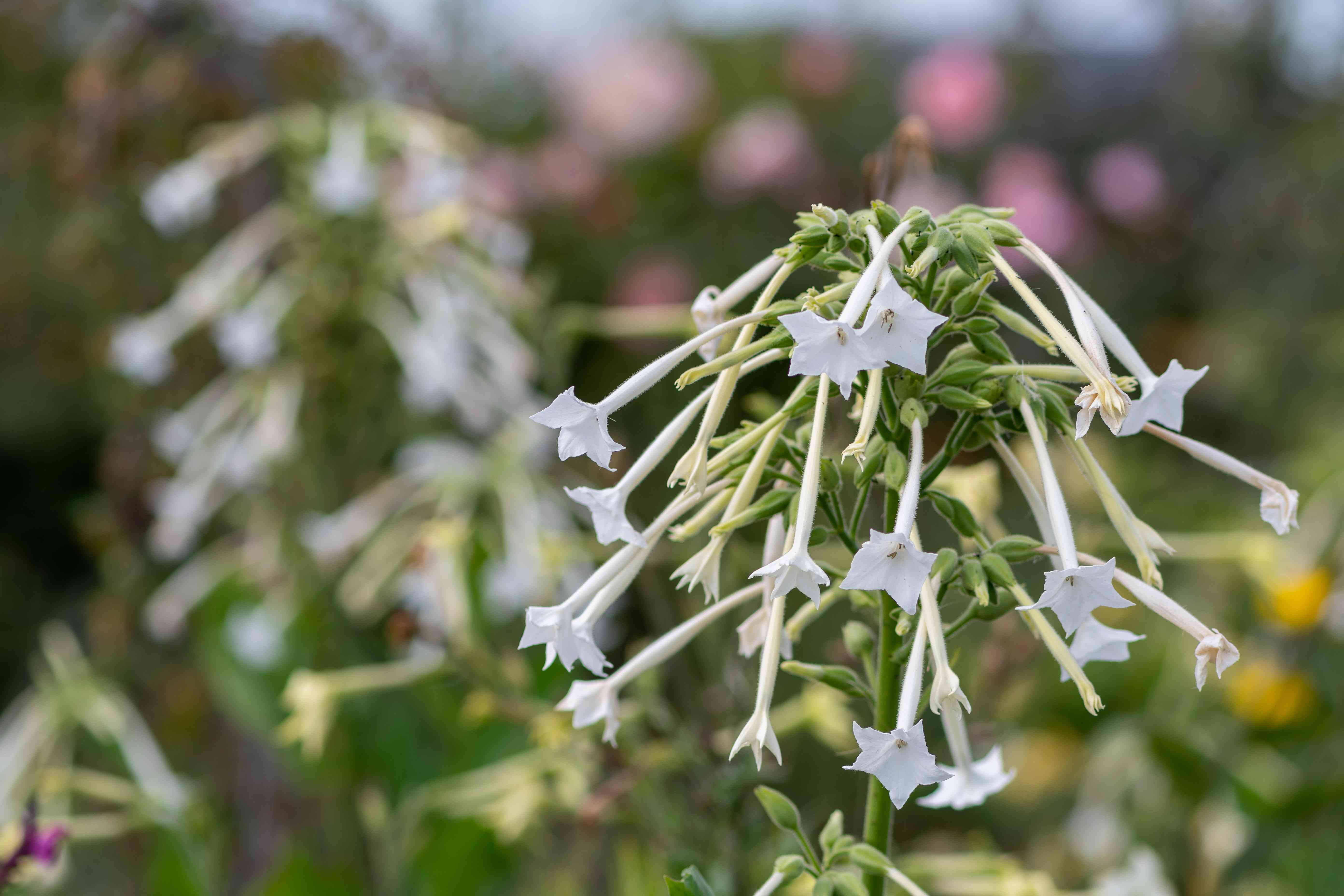 Close Up Of Flowering Tobacco In Bloom.