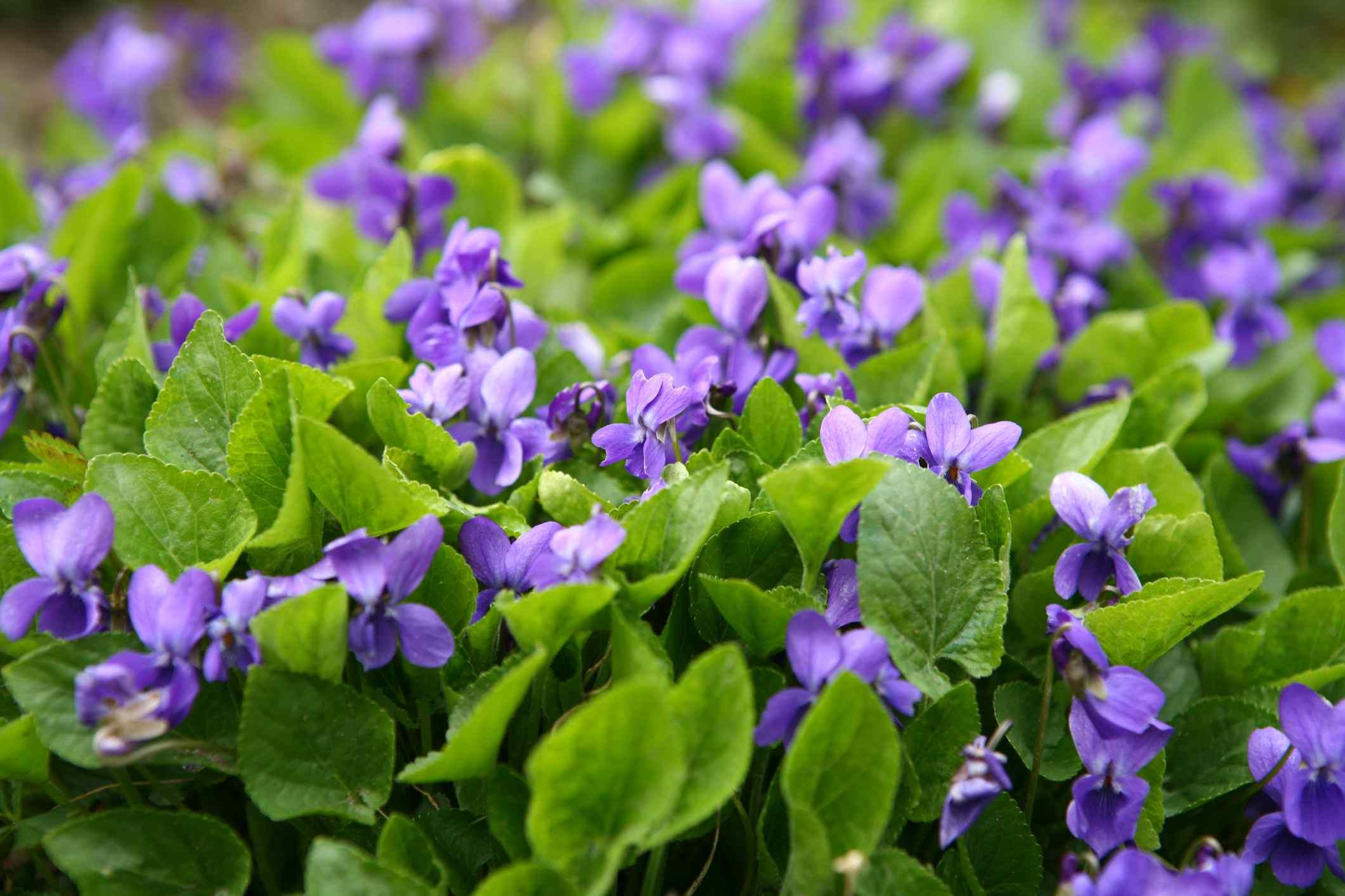 Flores de viola púrpura que crecen en masa