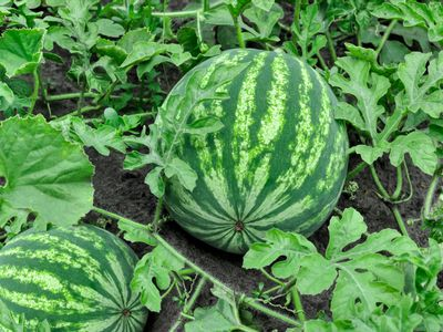 Watermelon fruit in middle of vines and leaves