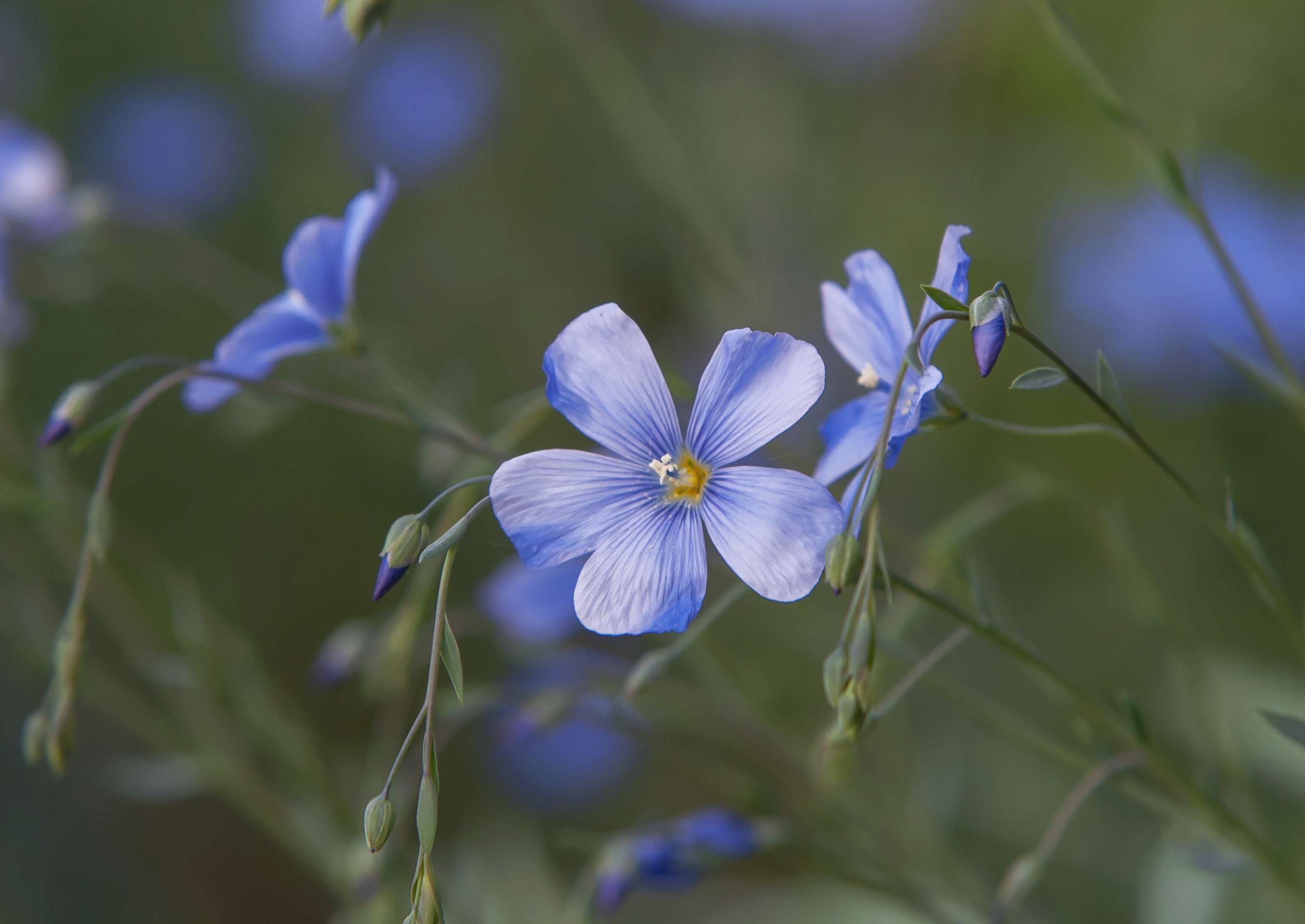 Flax plant with blue flower and buds closeup