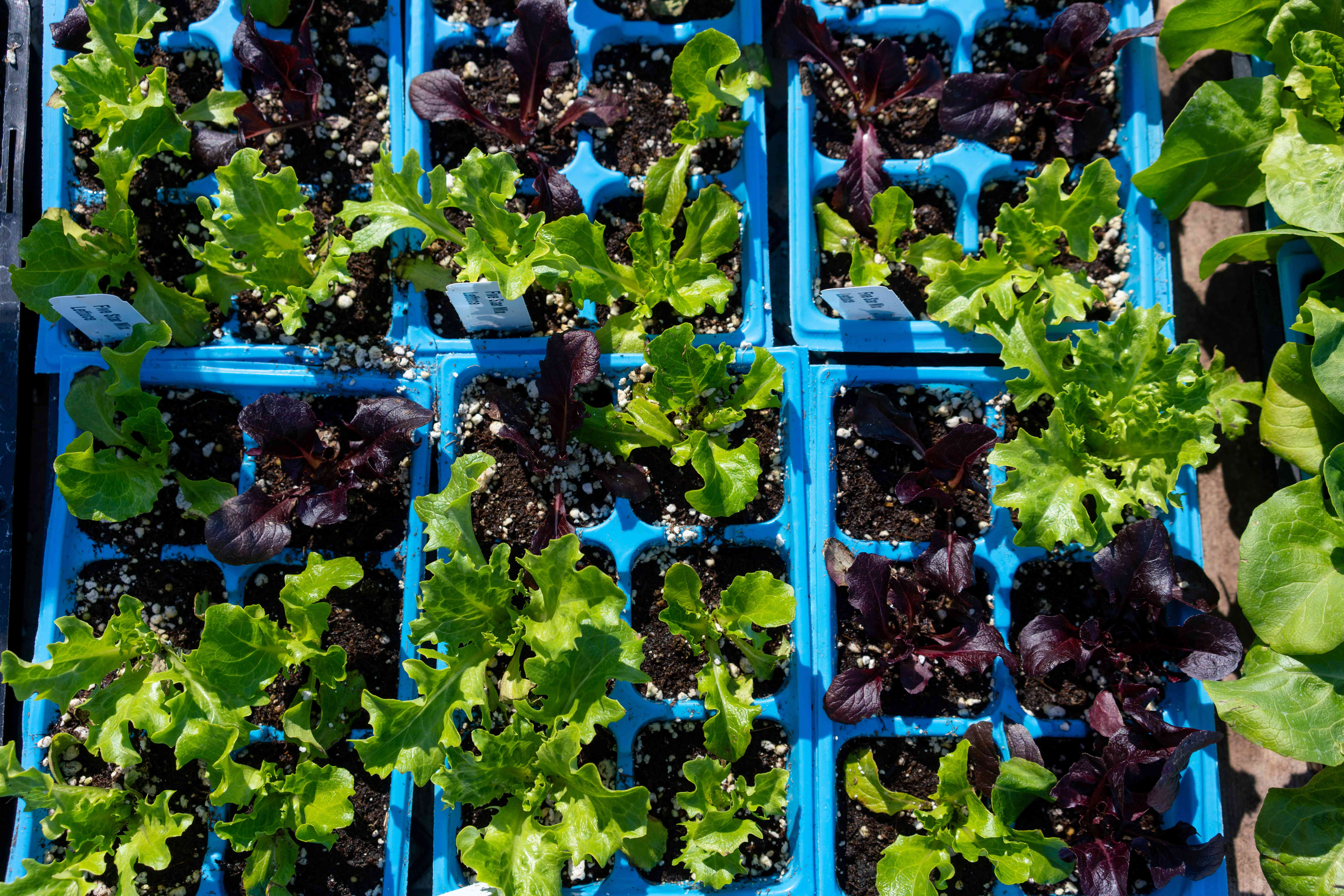 Cuttings transplanted into blue seedling trays with soil