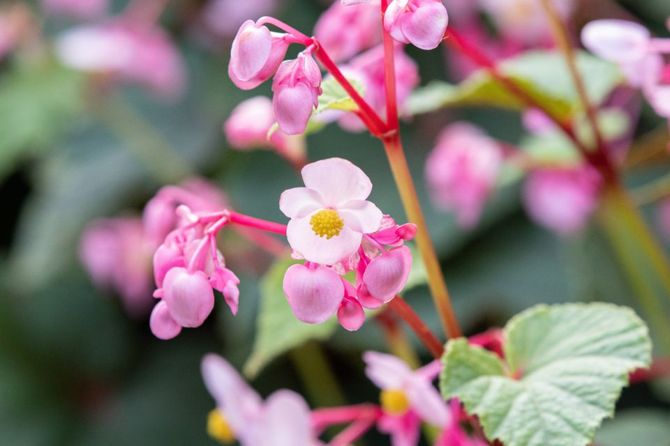 closeup of pink begonias
