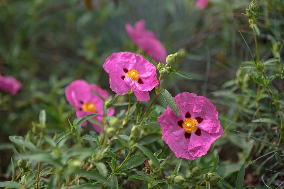 Rockrose plant with pink flowers and yellow centers on thin stems and buds