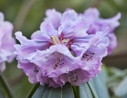 Best shrubs with pink or magenta flowers enjoy the calming effect of blue and lavender blooms with these bushes mightylinksfo