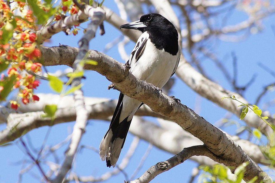 Butcherbird in Sunlight