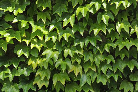 Boston Ivy Plants: Growing and Planting Tips