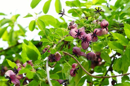 Top 6 perennial flowering vines five leaf akebia vine mightylinksfo