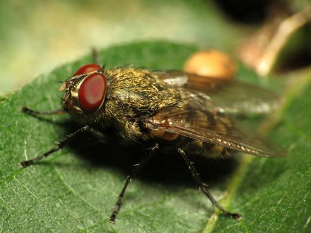 When It's not a House Fly, It May Be a Cluster Fly