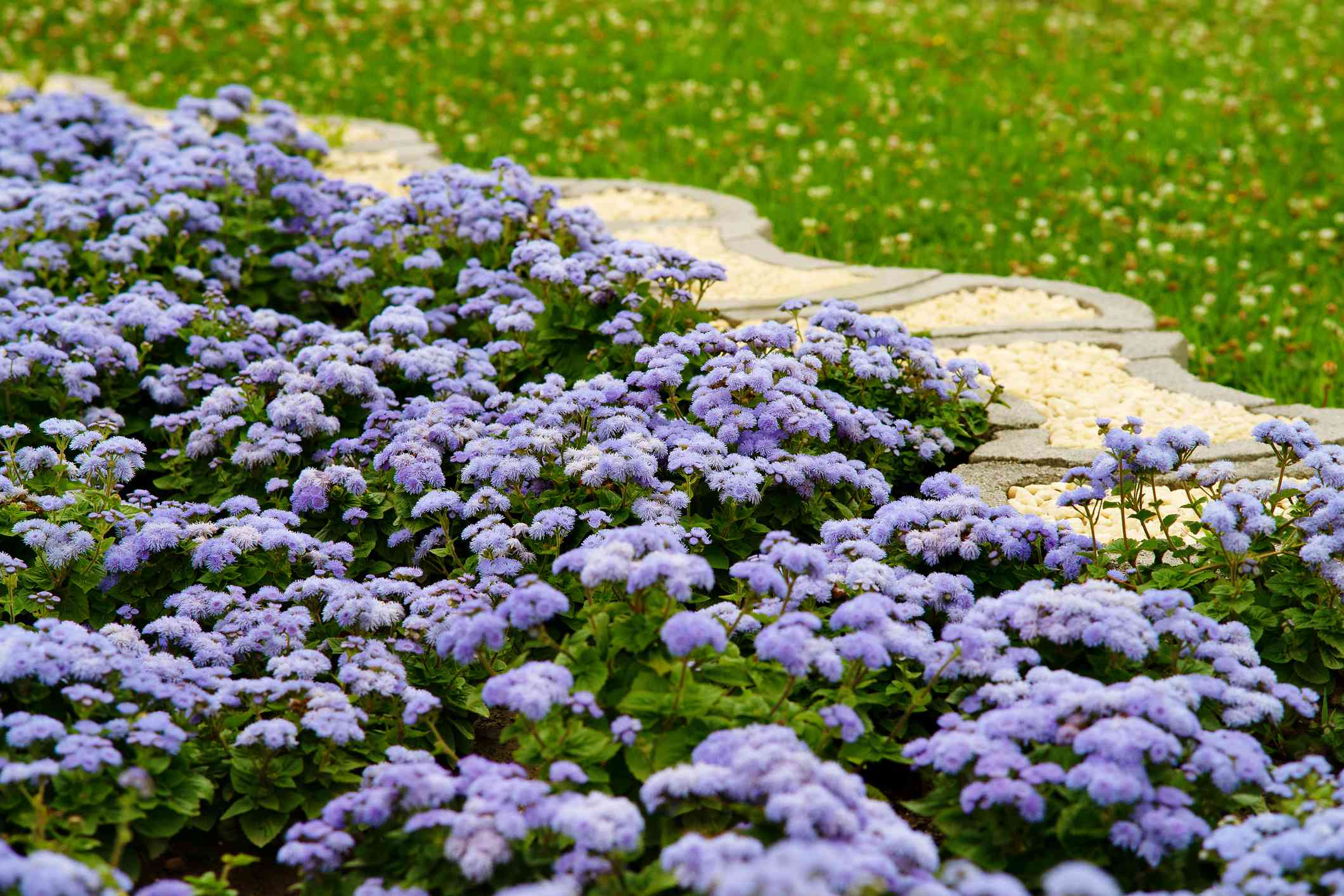 Purple ageratum flowers in the flowerbed.