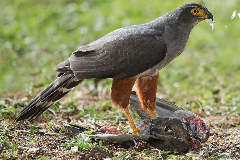Bicoloured Hawk With Prey
