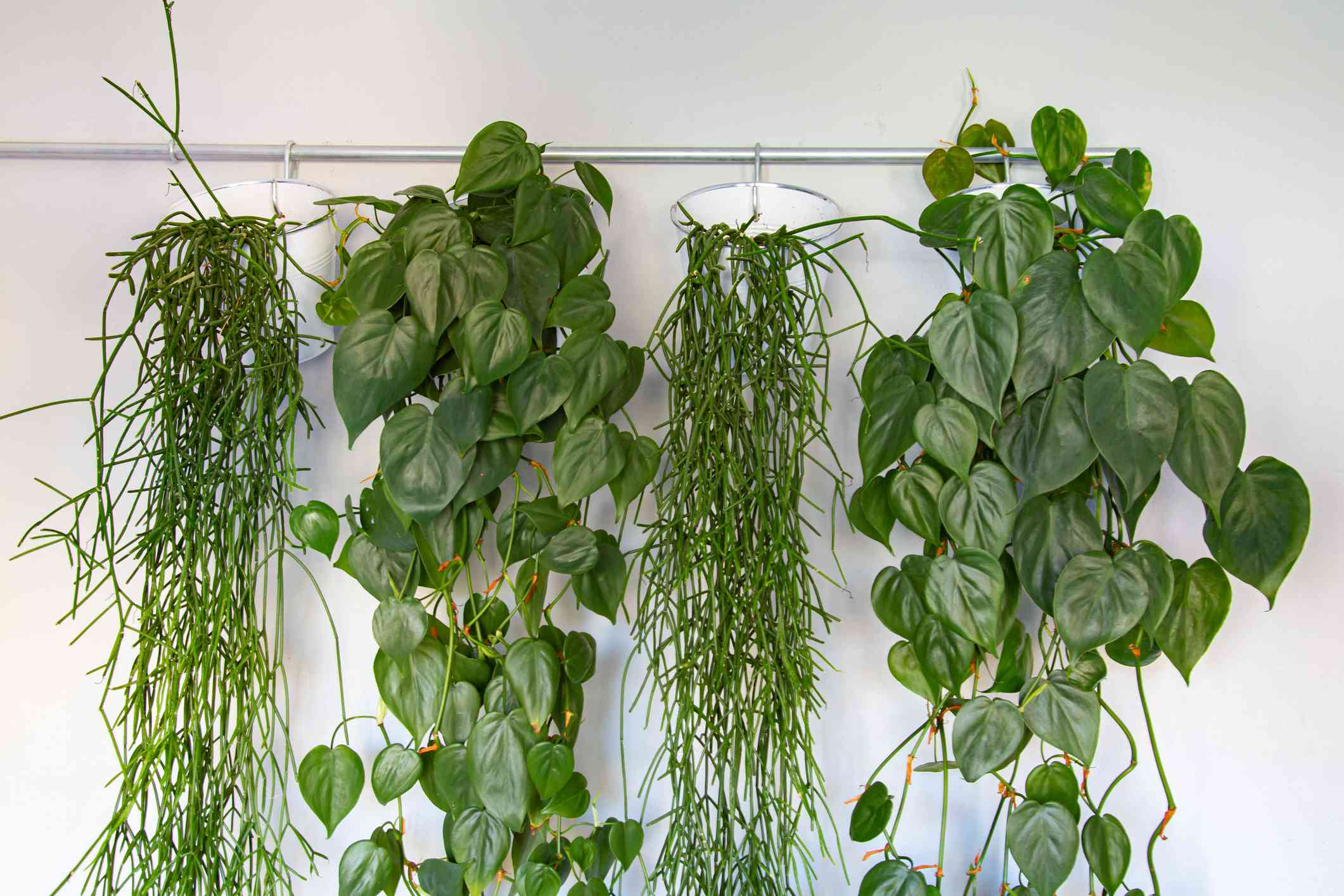 Collection of hanging green plants in white buckets hanging from a railing.
