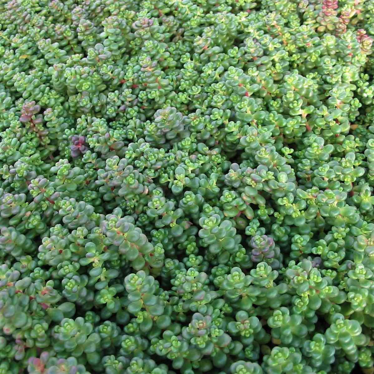 Green cascade stonecrop