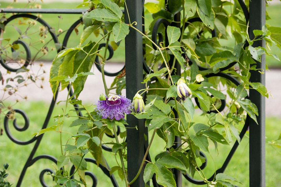 passionflower vine on a fence