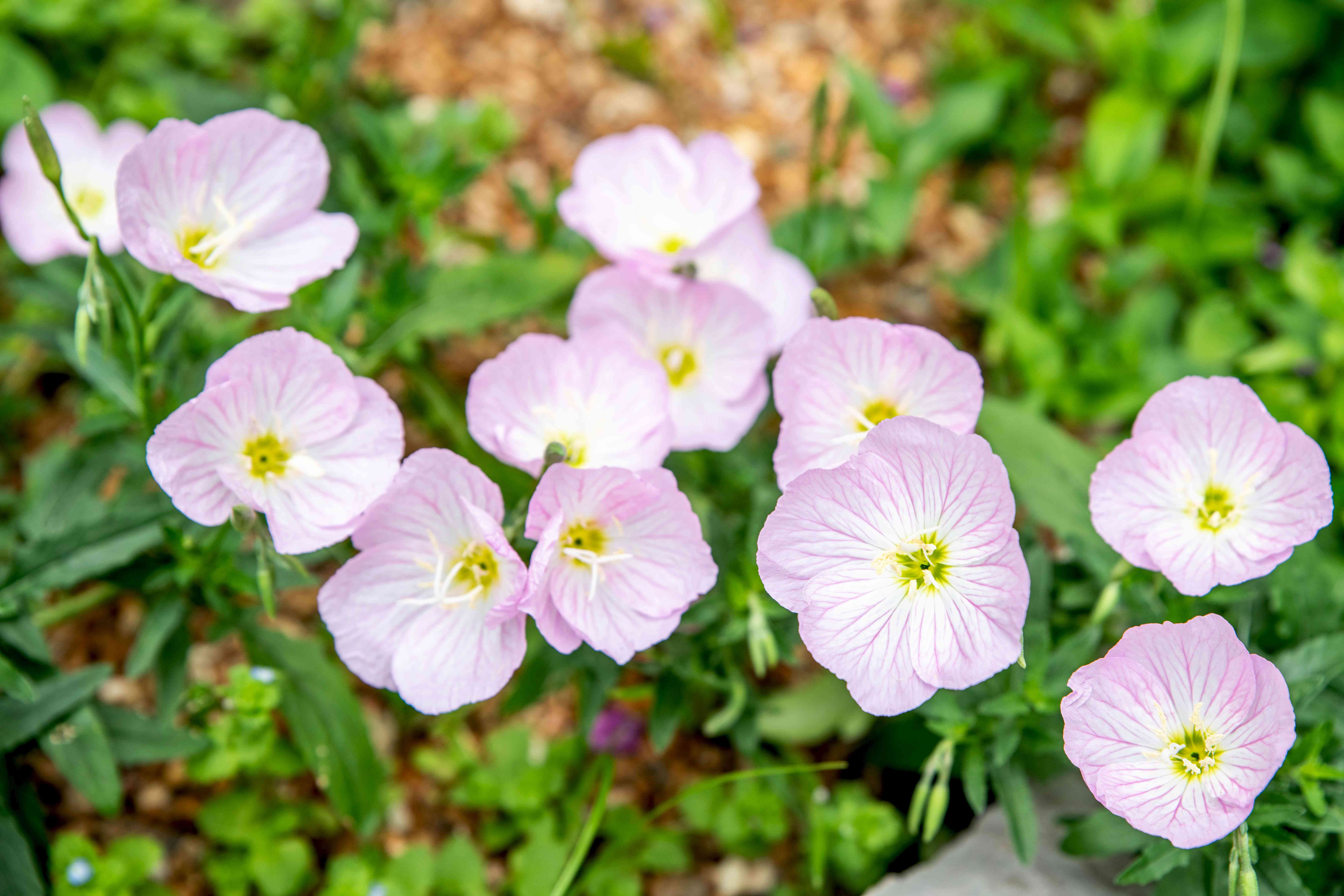 Evening primrose ground cover plant with small pink and white flowers