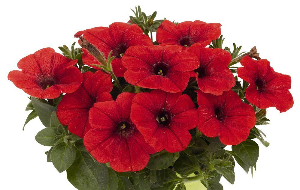 'Potunia Plus Red' petunia with red petals