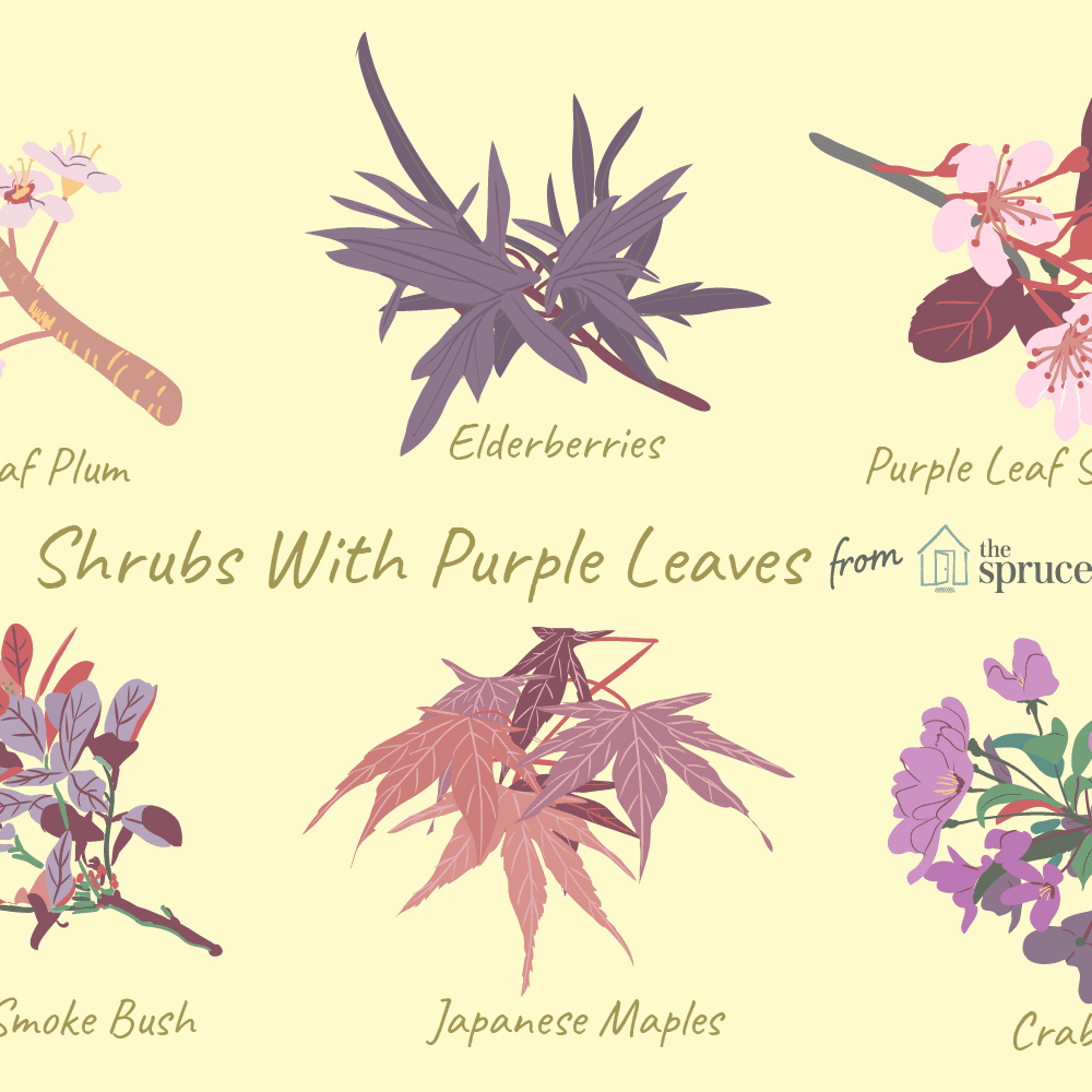 9 Ornamental Trees And Shrubs With Purple Leaves