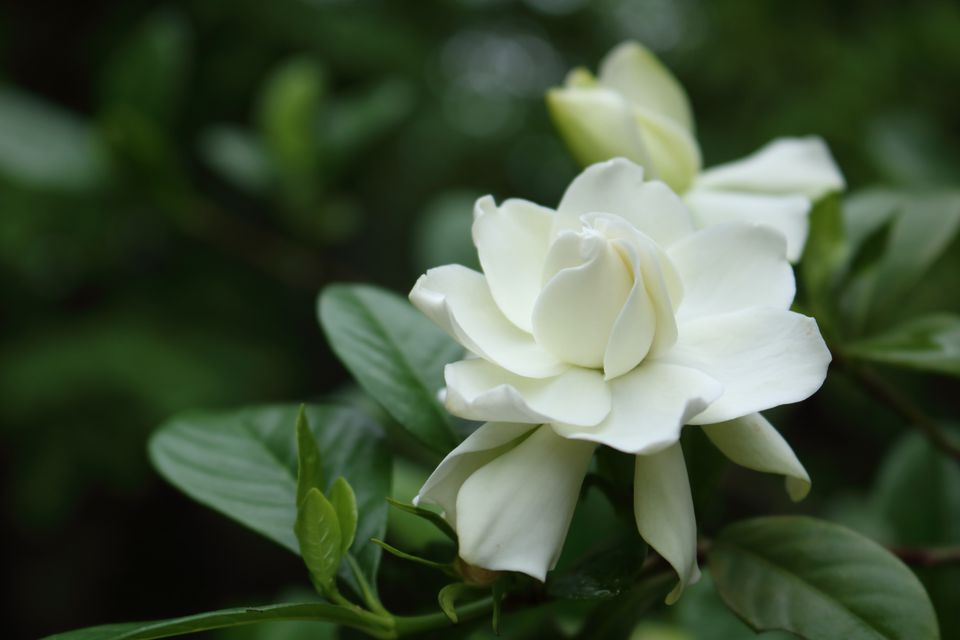 Gardenia plant in bloom.