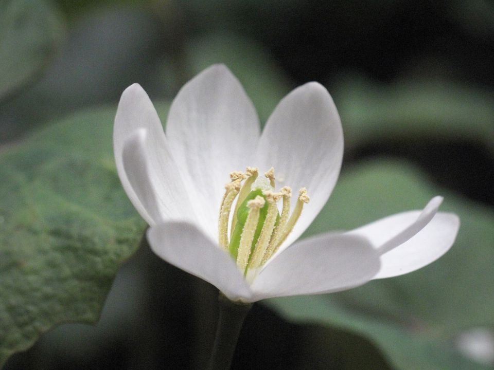 Close up of the white bloom of the Twinleaf (Jeffersonia diphylla)