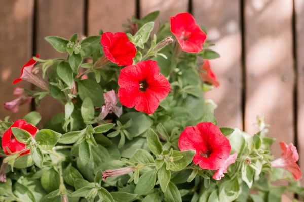 petunias growing in front of a fence