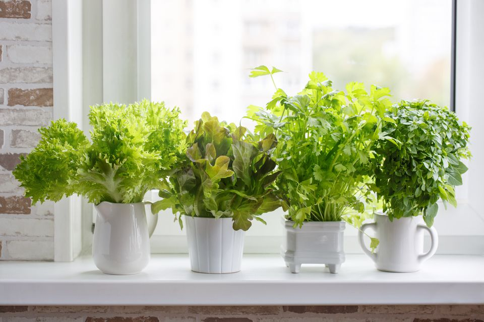 Containers of lettuce sit on a white windowsill.