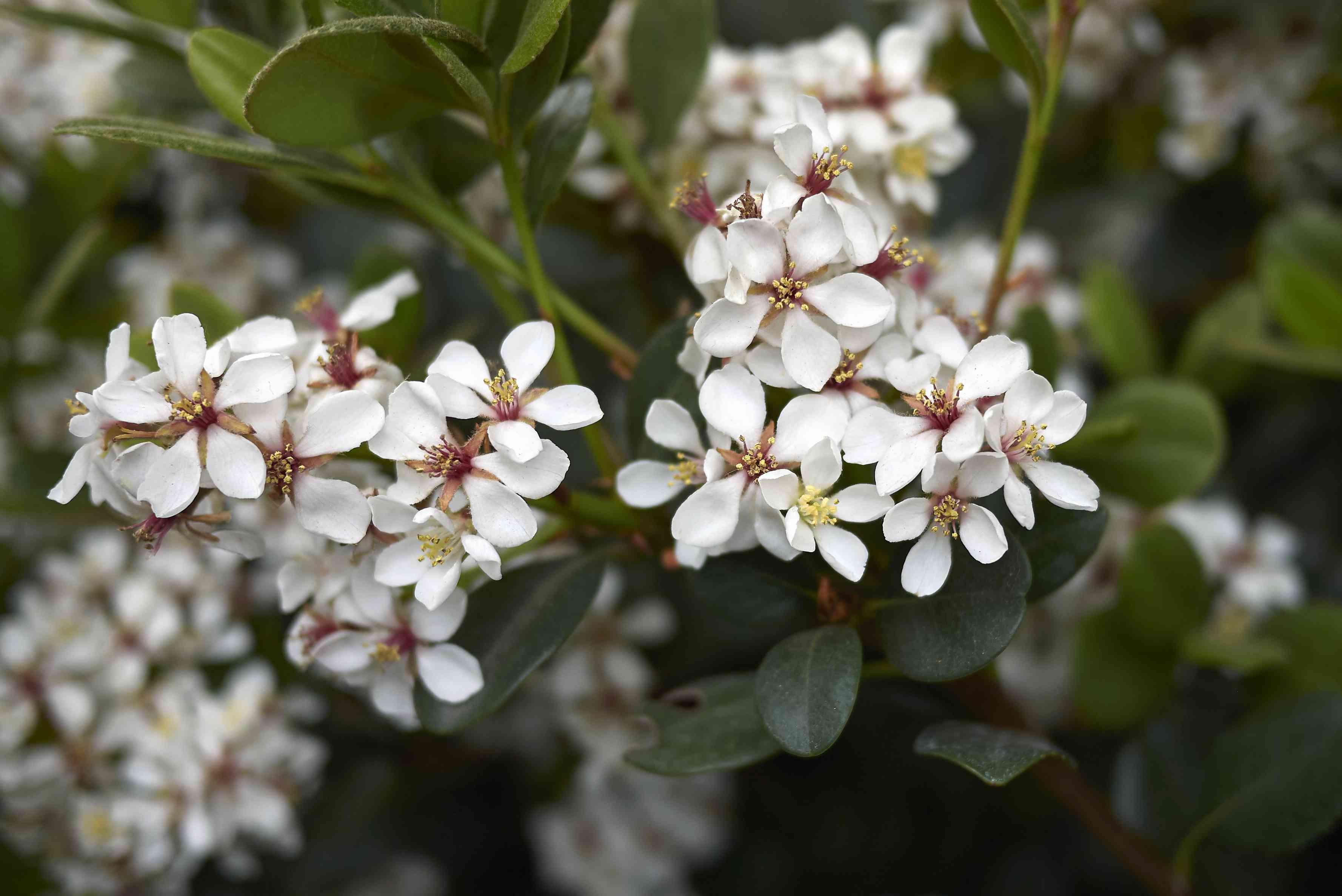 Rhaphiolepis indica 'Indica Princess' blooms