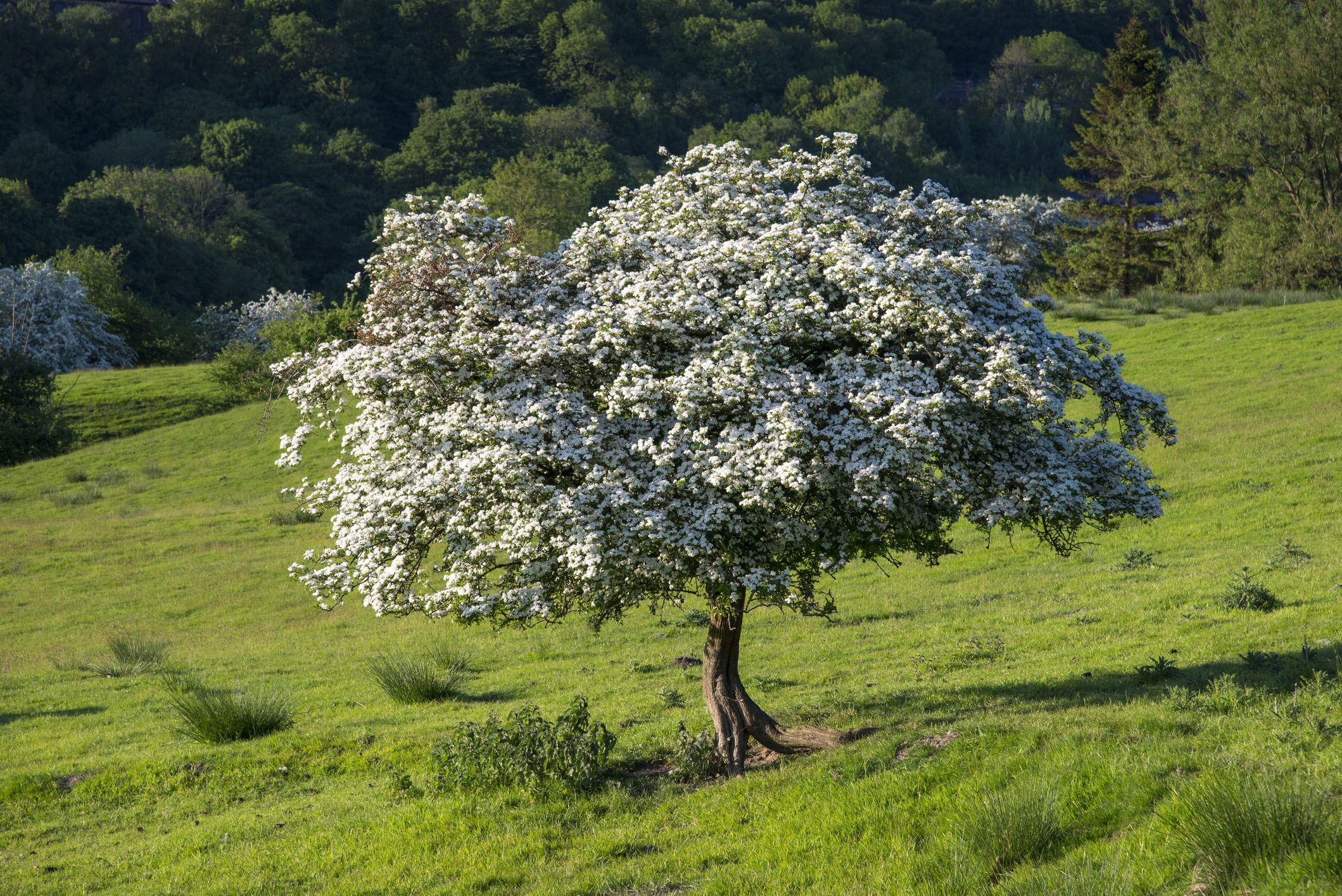 Hawthorn Tree (Crataegus crus-galli)
