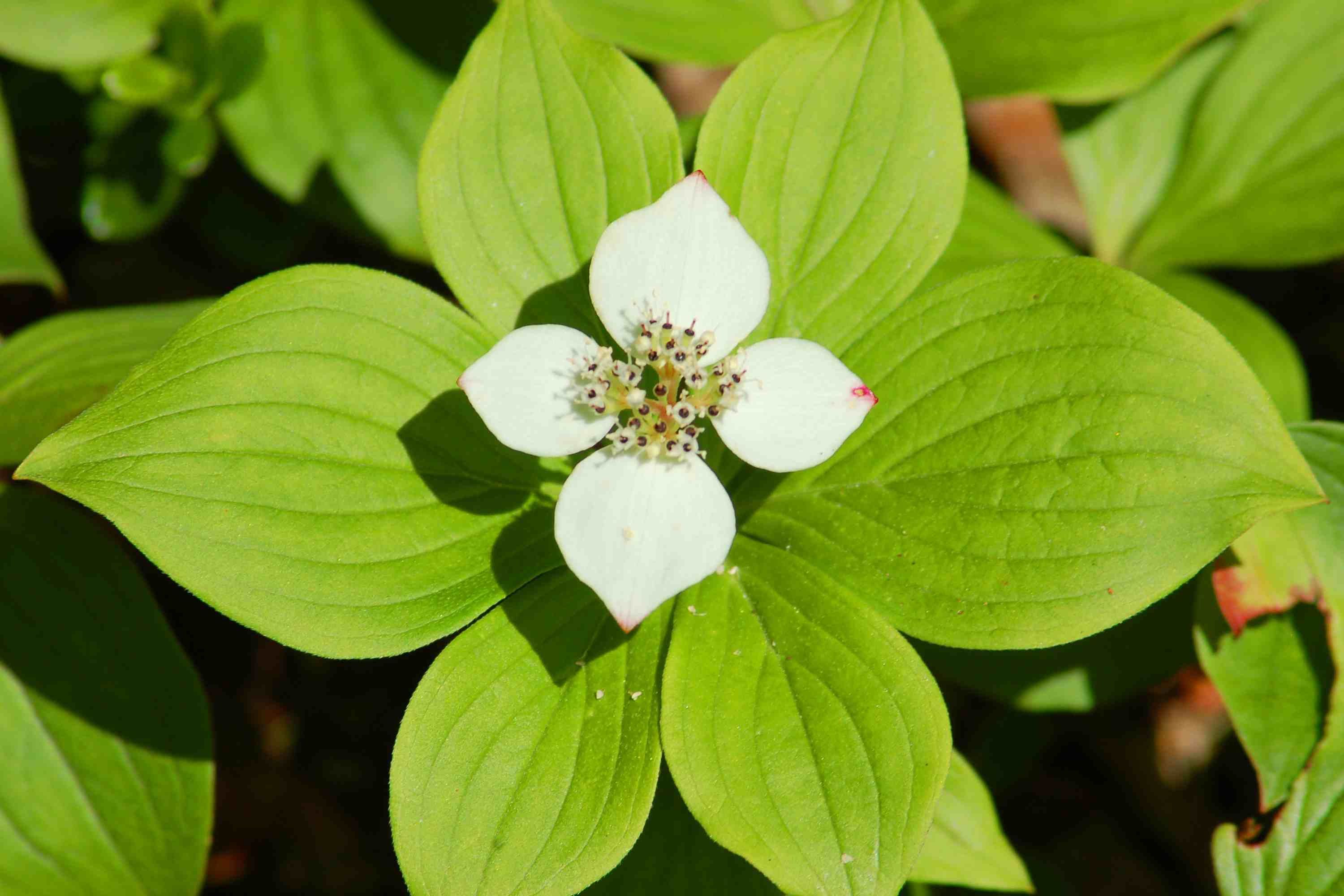 Bunchberry (a type of dogwood) is a short plant