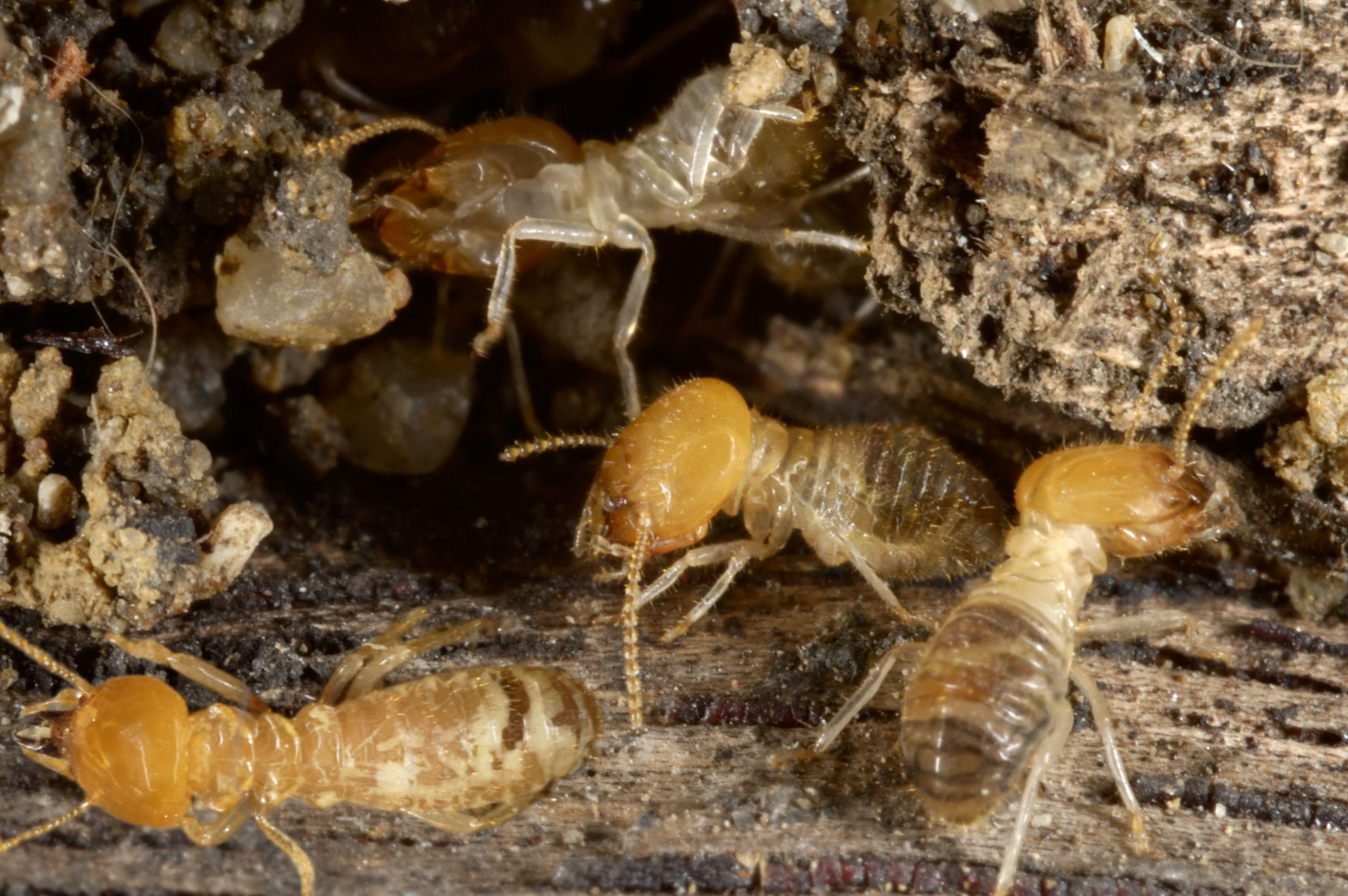 Several termites digging holes into wood.