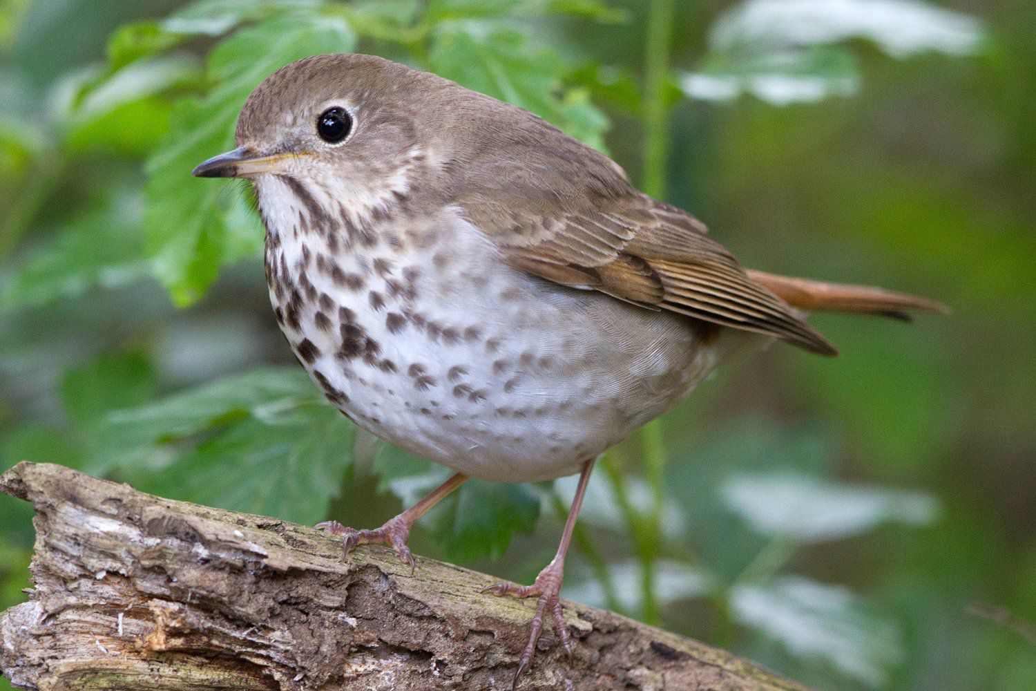 How To Attract Thrushes To Your Yard