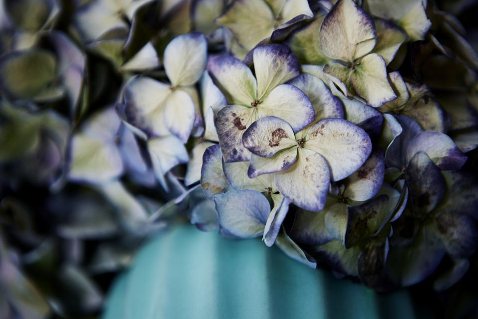Dried Hydrangea in vase, close-up
