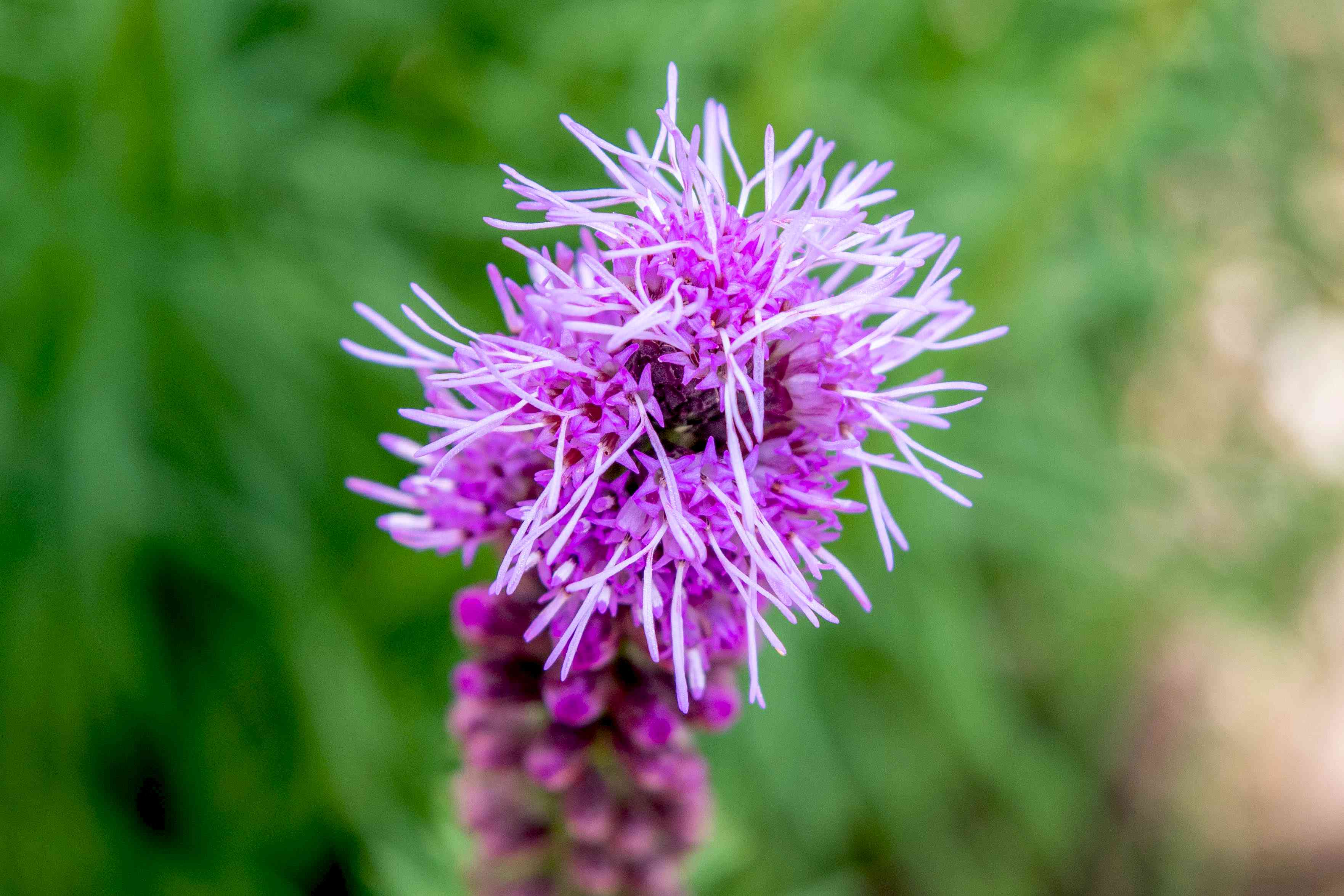 Prairie blazing star plant with bright purple and prickly flowers clsoeup