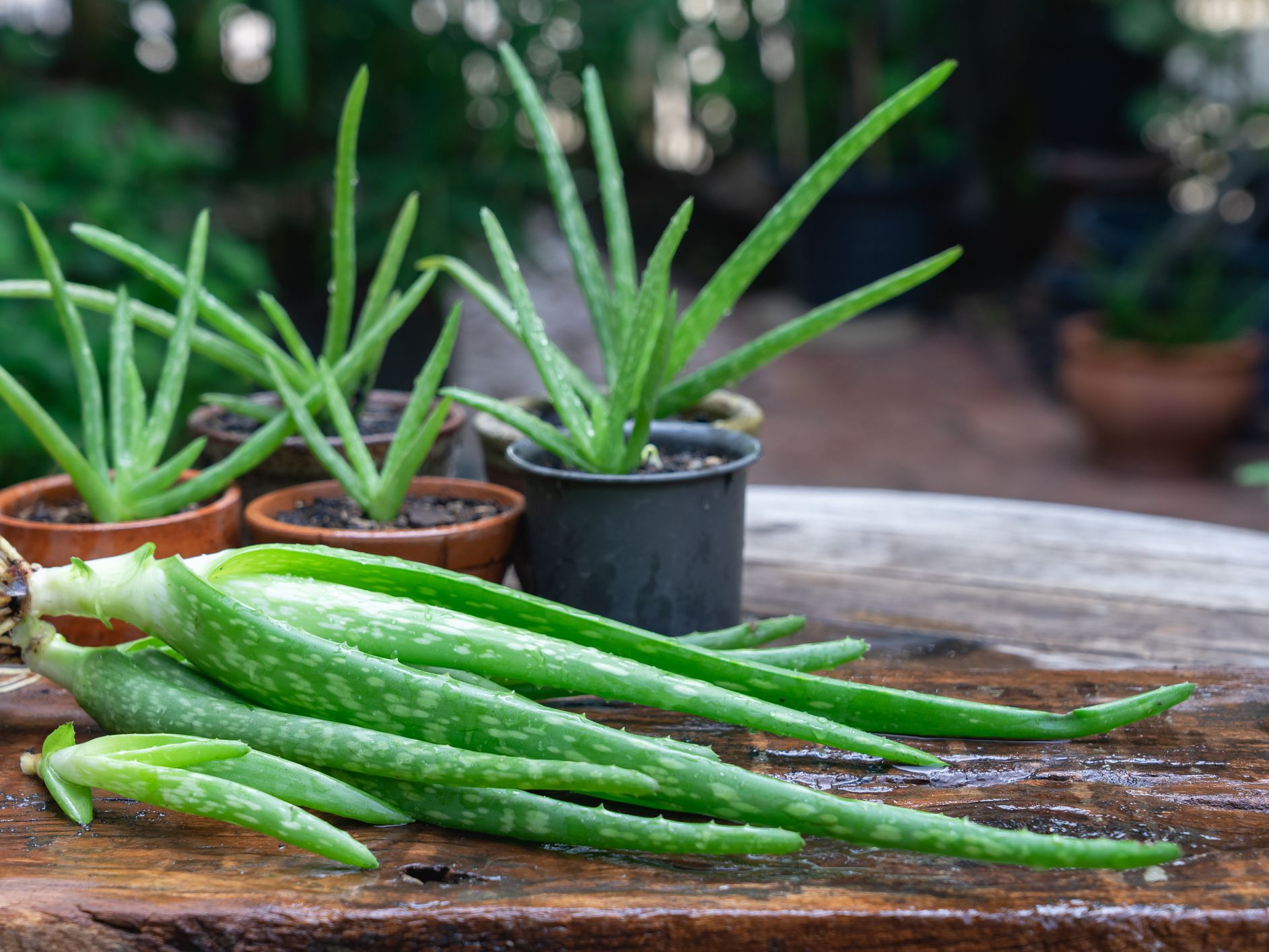 How To Propagate Aloe Vera From Pups