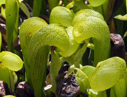 Cobra lilies