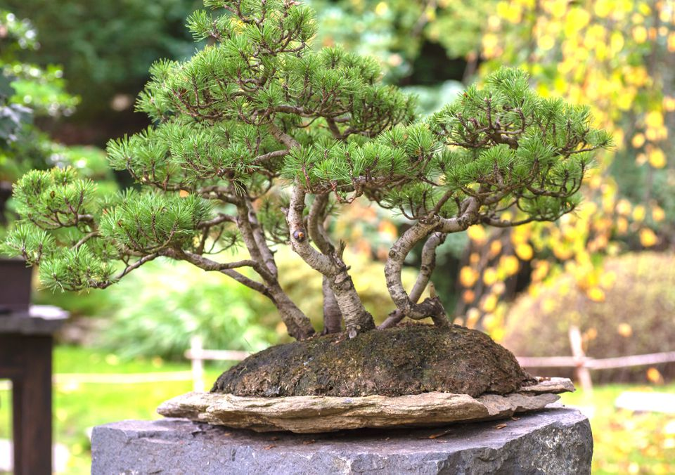 Pine bonsai tree on a rock surface