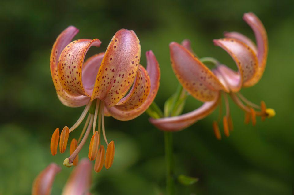 Turk's cap lily with orange petals and dark red spots with orange stamen