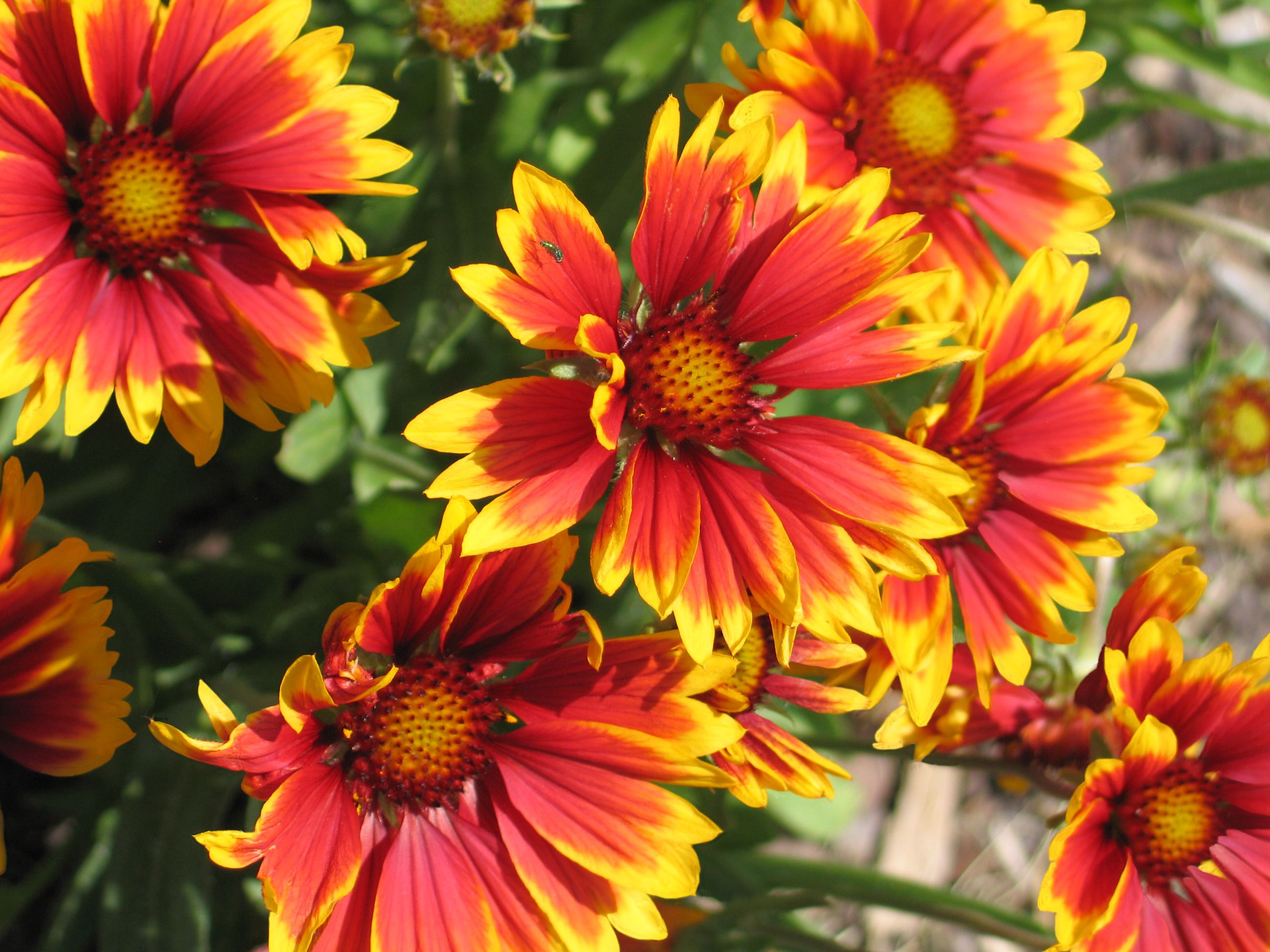 Growing Blanket Flowers Gaillardia