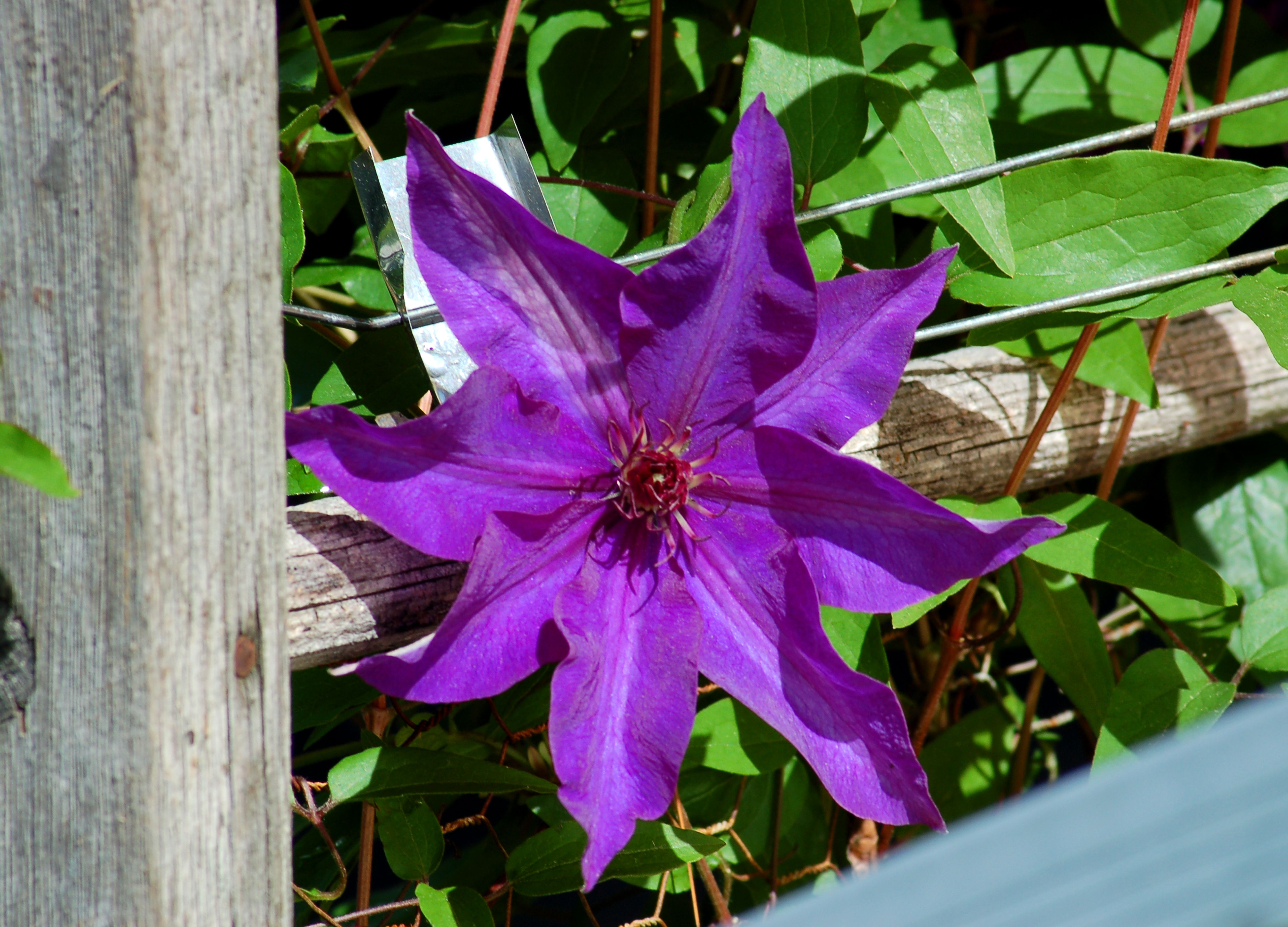 Clematis The President Unimpeachable Vine For Summer