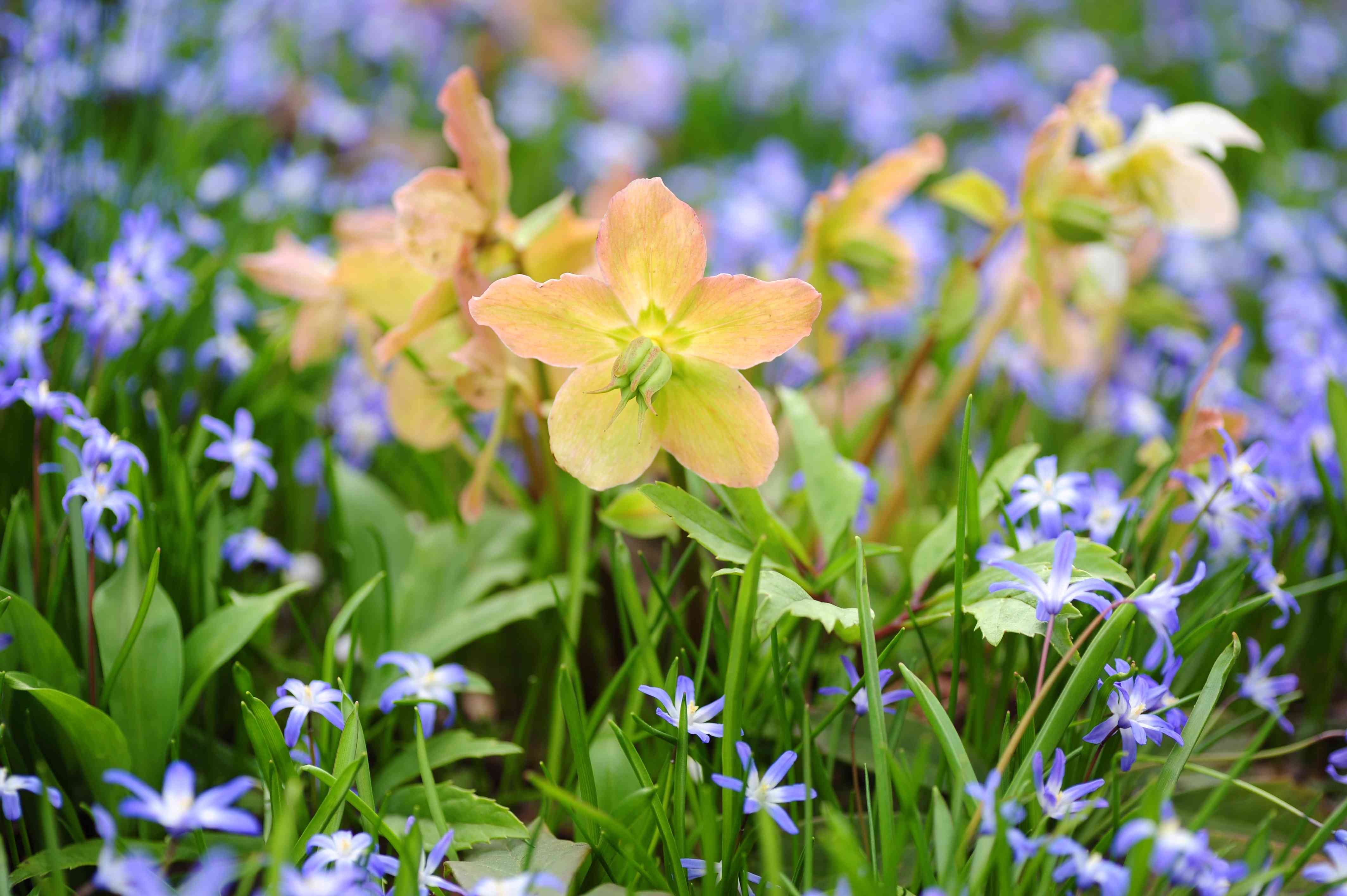 Hellebore plant with orange flowers surrounded by small purple flowers