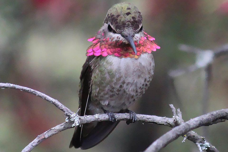 Hummingbird Behavior And Aggression