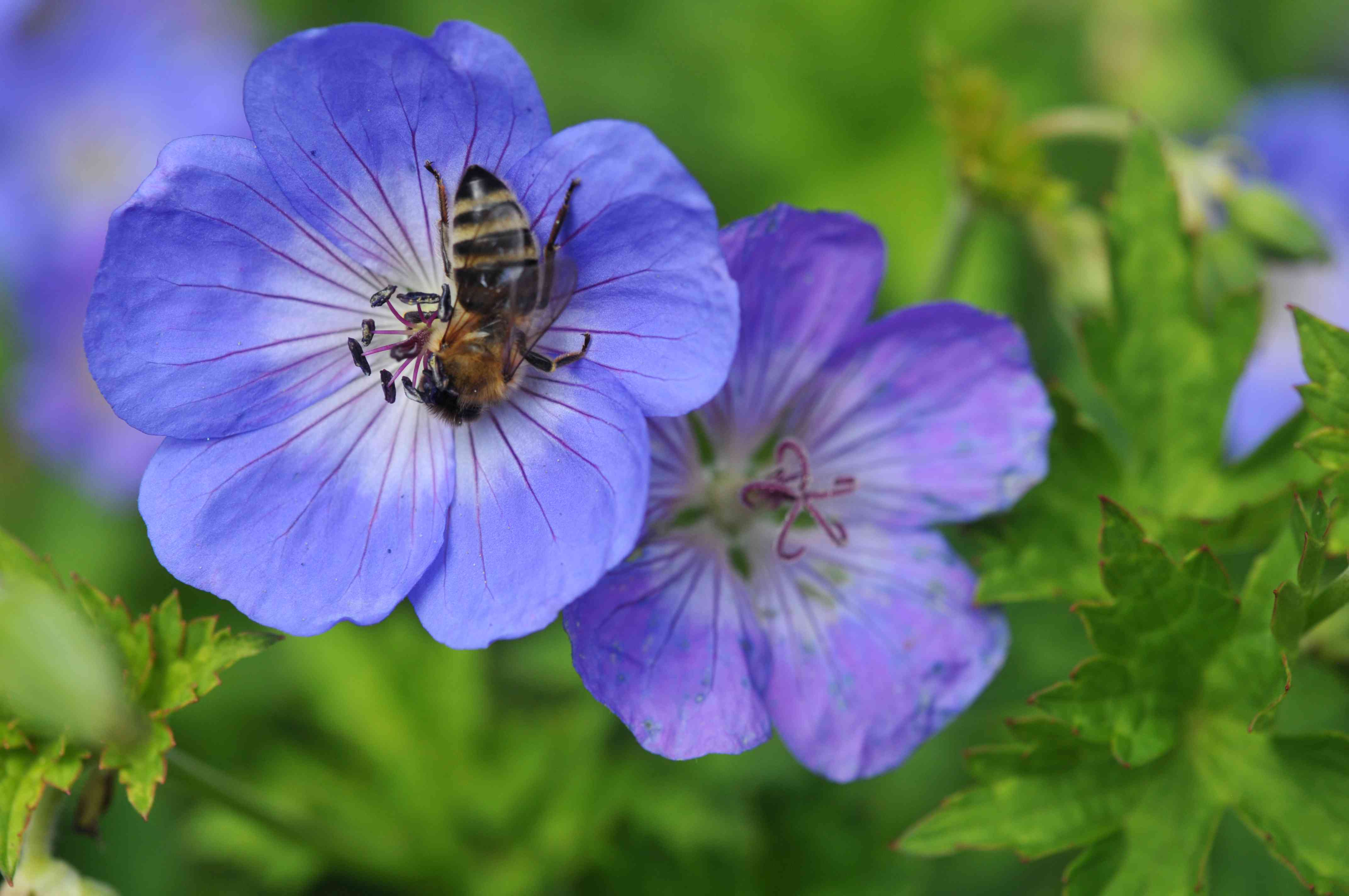 Geranium rozanne purple-blue flowers with bee in middle closeup