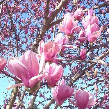 Saucer Magnolia   Japanese Magnolia   Tulip Tree