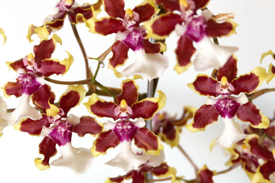 closeup of oncidium orchids