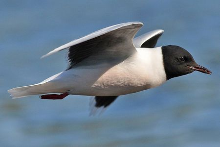 Fun Facts About Gulls