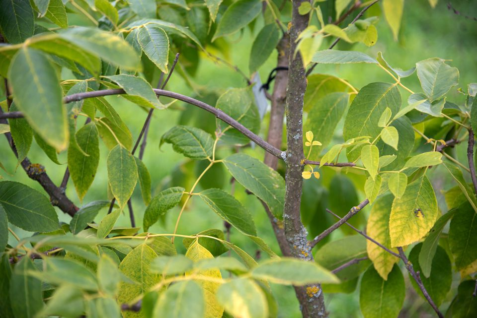 Blue ash tree with thin trunk and yellow-green leaves hanging from branches
