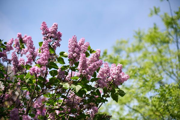 If your soil is acidic, plants like lilacs will appreciate the addition of garden lime to your soil.
